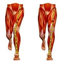 muscle diagram
